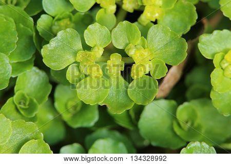 Opposite leaved golden saxifrage (Chrysosplenium oppositifolium) blossoms. poster