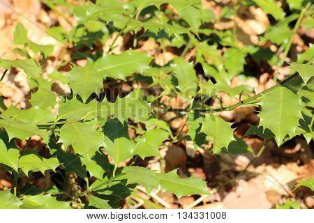 Common Holly (ilex Aquifolium) Leaves In Sunlight