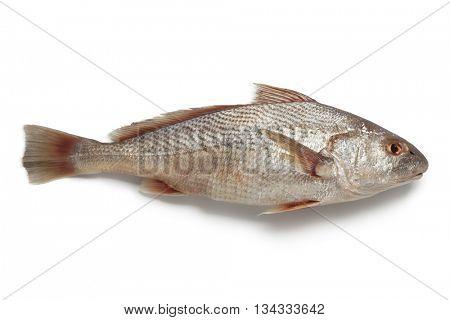 Whole single fresh raw koebi fish on white background