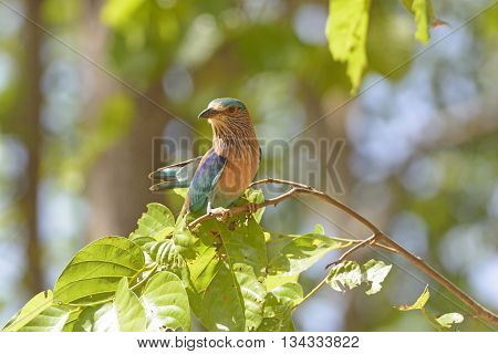 Indian Roller in a Tree om Kanha National Park in India