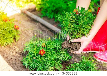 Closeup Woman Gardener Replanting Flowers