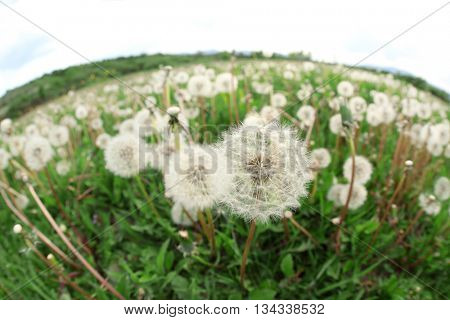 Beautiful dandelion flowers on meadow with sunlight