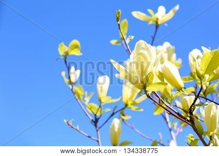 Blooming branches, close up