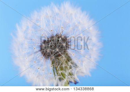 Dandelion, closeup