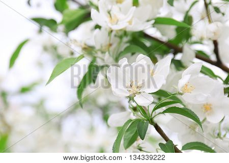 Blooming fruit tree on a spring day