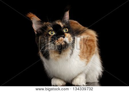 Three Colored Maine Coon Cat Funny Looking up Isolated on Black Background