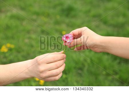 Female and male hands with daisy flower on blurred green grass background