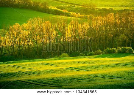 Trees on green wavy hills in South Moravia, Csezh Republic