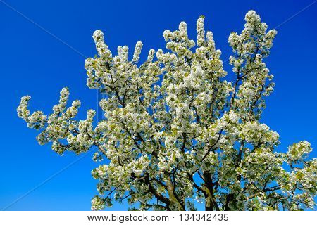 Blooming cherry tree against blue sky