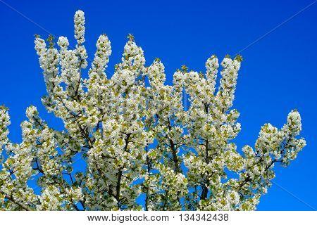Blooming cherry tree against blue sky