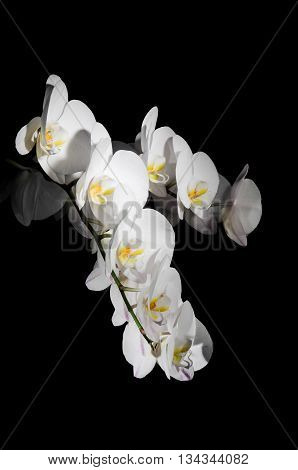 Bough of a white orchid in front of black background.