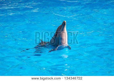 bottlenose dolphin in blue pool water. Batumi.
