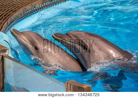 Pair of dolphins with head out of the water.