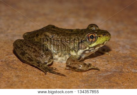 Green frog profile side view on rock tile surface