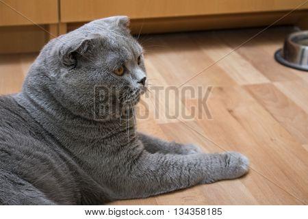 British fold cat lying on the floor lazily lounging