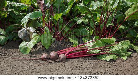 Closeup of organically grown red beet (Beta vulgaris) bunch over growing vegetables background