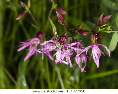 Flower of blooming Ragged-Robin Lychnis flos-cuculi detailed macro with bokeh background selective focus shallow DOF