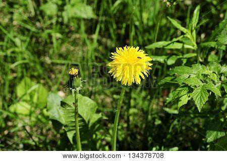 yellow flower of dandelion in green grass