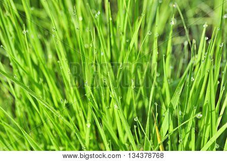 closeup nice morning dew on green grass