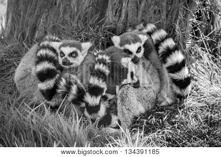 Black and white image of a group of sleeping Ring Tailed Lemurs.