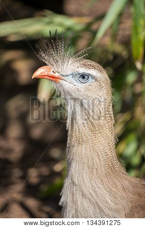 Close up of a red legged seriema.