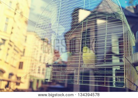 Two yellow canary in a cage of iron bars outside the window with a reflection of the old town of Riga Building on a sunny day poster