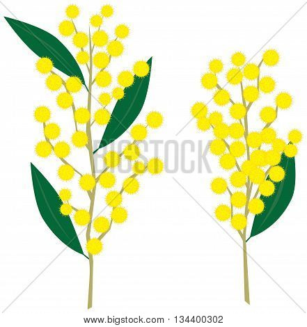 Vector illustration of yellow wattle flowers and leaves