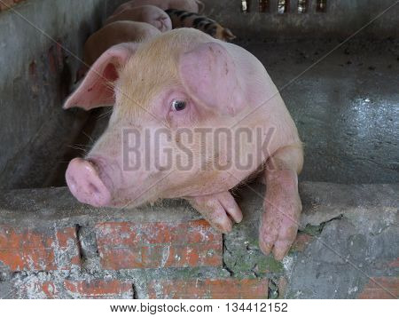 Funny close up of face of hairy, pink pig in a sty resting front legs on brick wall with head turned slightly as if smiling to camera