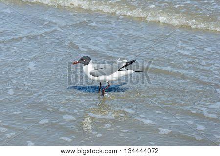 Gulls or seagulls at Galveston, state Texas