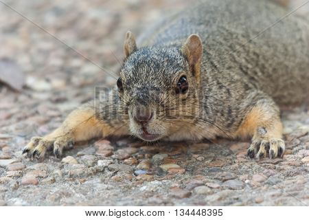 American Tree Squirrel In Its Natural Habitat Laying On The  Ground