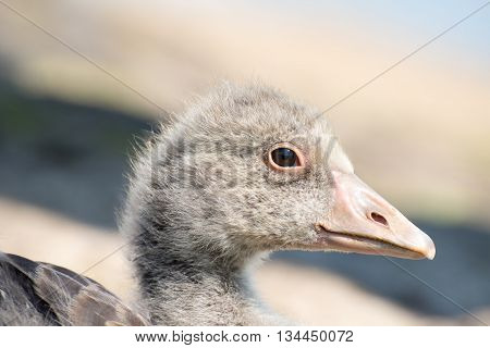 Portrait Of A Young Greylag Goose Chick