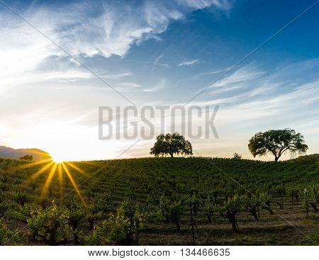 Sun flare at sunset over a Sonoma California vineyard. Sunset in California wine country. Sunbeams shine over green grapevines in Sonoma Valley. Tree silhouette on the rolling hills. Blue sky with wispy white clouds.