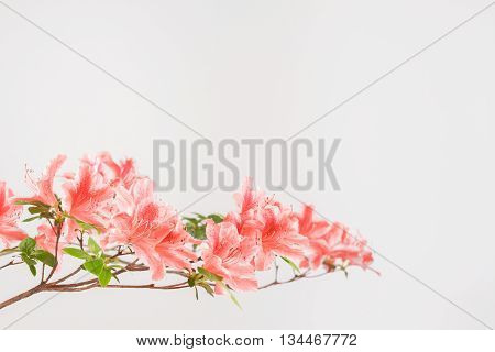 Branch of slamon pink and white azalea blooms with a white background.