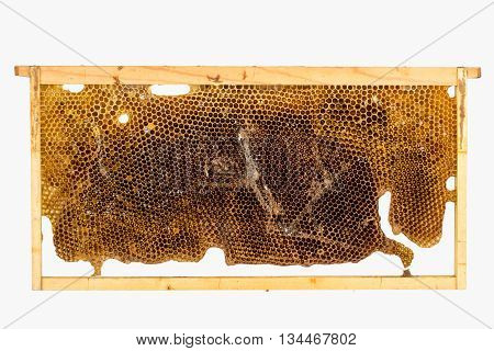 Culled brood frame from honey bee hive with wax moth tunnels and webbing.
