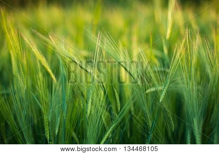 Bright Green Field Fluffy Spikelets, Closeup Of Green Grass, Spi