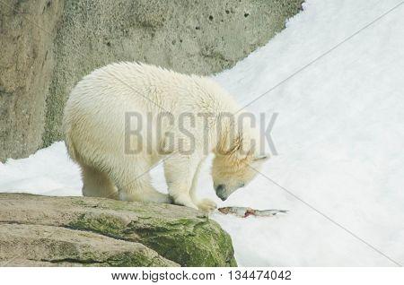 Polar Bear Eating A Fish