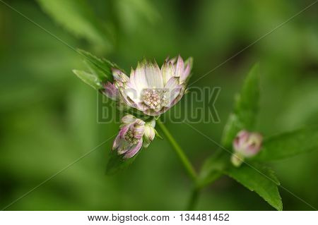 Blossoms of a great masterwort (Astrantia major)