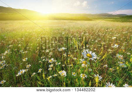 Spring flowers of daisy in meadow. Beautiful landscapes.