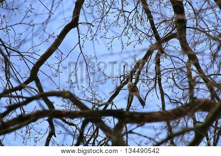 Eurasian Jay (garrulus Glandarius) Sitting In A Tree