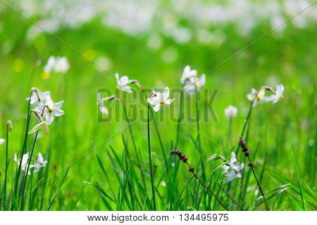 White flowers of narcissus beautiful spring meadow.