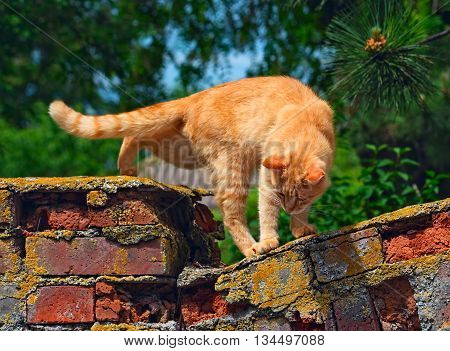 Red cat is going to jump off the old brick fence. Selective focus photo on a bright sunny day