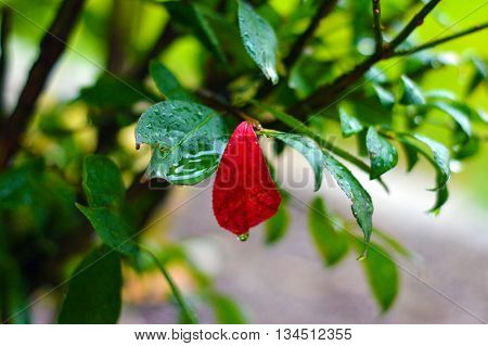 green burning bush with single red leaf during a rainstorm