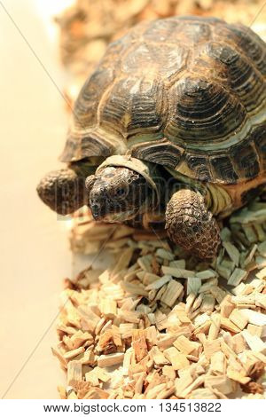 Small Turtle Pet