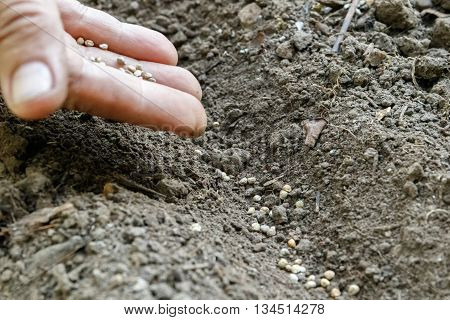 A woman's hand sowing carrot seeds in the garden