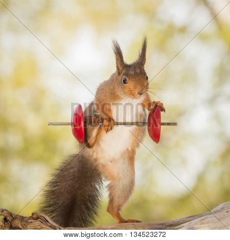 red squirrel standing on tree trunk with weight object using a leg