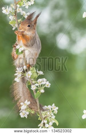 red squirrel in a apple branch with blossom and looking in the lens