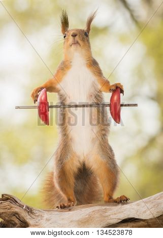 red squirrel standing on tree trunk with weight object and looking up