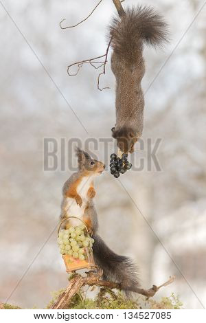 red squirrel standing on basket with grapes reaching out