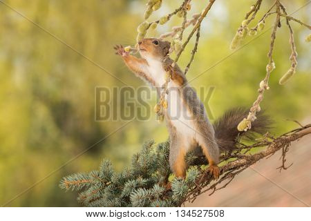 red squirrel standing on branch holding a branch with willow flowers and reach out