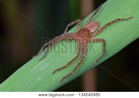 a huntsman spider posing nicely on grass blade